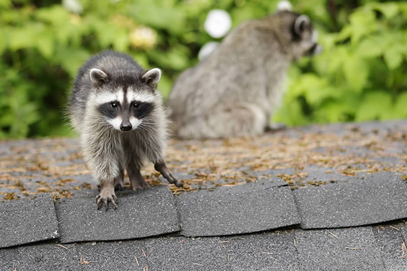 Wildlife Control in Lindsay. Raccoon, squirrels and rodents